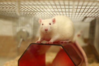 rats-in-research